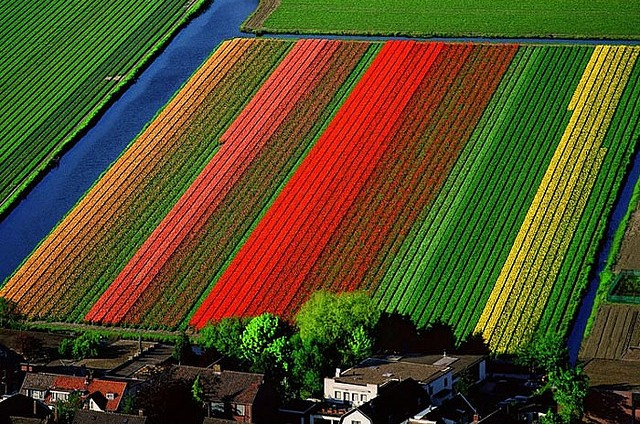Tulip fields - Lisse, Holland