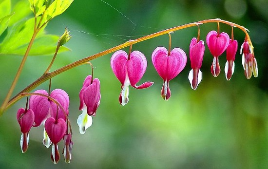 Top 10 most beautiful flowers in the world wonderslist bleeding heart flower mightylinksfo