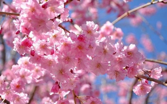 Nothing Is More Beautiful Than The Arrival Of Spring In An When Cherry Blossoms Trees Are Full Bloom Unofficial Flowers