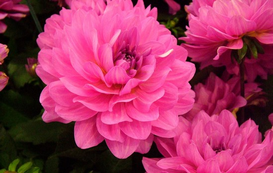Top 10 most beautiful flowers in the world wonderslist dahlia flower mightylinksfo