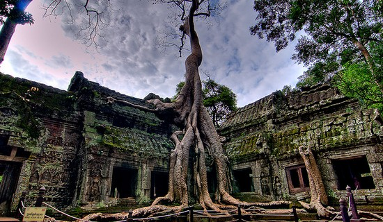 Silk Cotton Trees of Ta Prohm , Cambodia