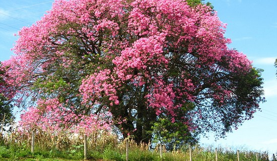 10 wonderful trees in the world