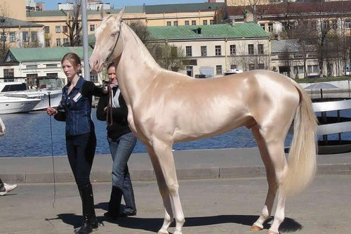 most beautiful horse Akhal-Teke