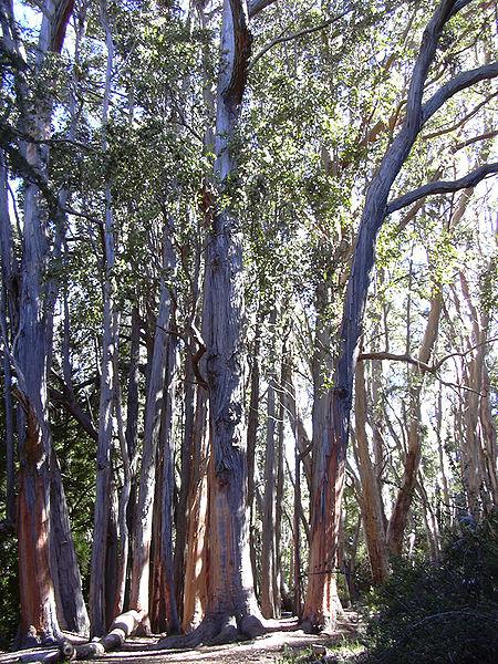 Largest Trees Gothmog