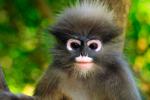 Dusky Leaf Monkey Monkeys