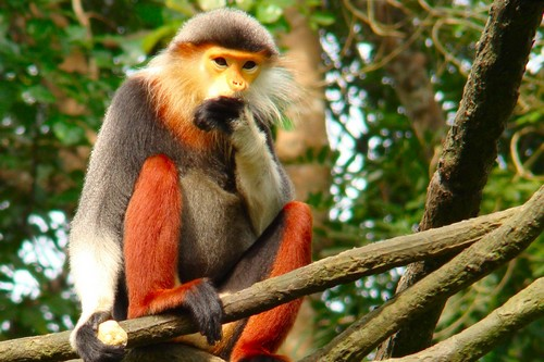 Red Shanked Monkey