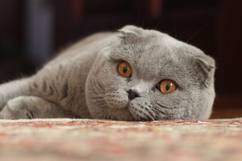 Bizarre Cat Breeds, Scottish Fold