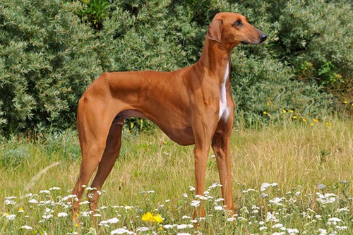 Azawakh Unique Dog Breeds