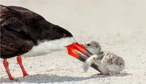 Black Skimmer Bird