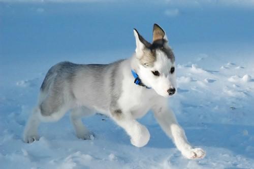 Dog Breeds Originating In North America