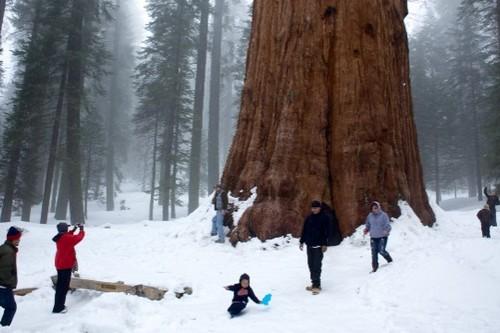 Largest living tree