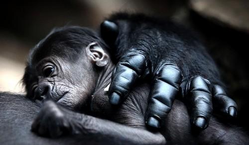 Mother Gorilla Hugs Her Baby