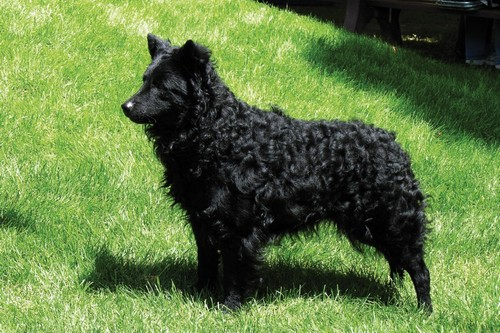 Mudi Unique Dog Breeds