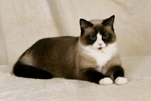 american shorthair cat price