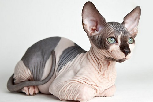 Sphynx Bizarre Cat Breeds