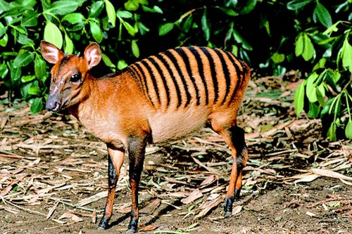 antelope black single men There are many different species of antelope including the tiny royal antelope that stands at  female antelopes give birth to a single  black tongue can .