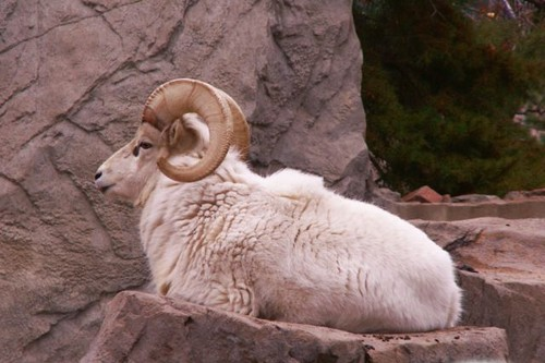 ram, male sheep