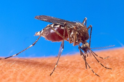 Mosquito caused Rift Valley Fever
