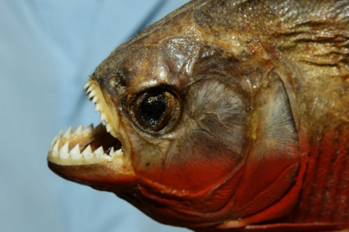 Image gallery deadly piranhas for Dangerous fish in the amazon