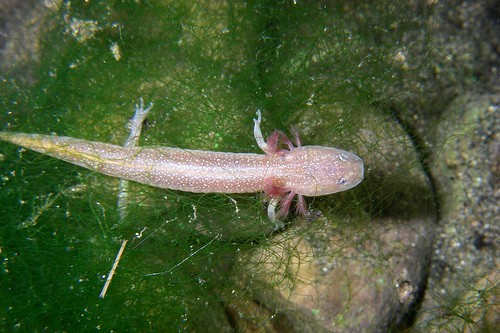 Transparent Animals Salamander