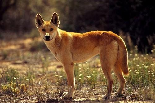 Cute Dingo