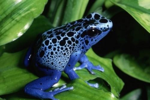 Poison dart frog Dangerous Animals