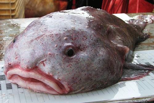 BlobFish Underwater Creatures