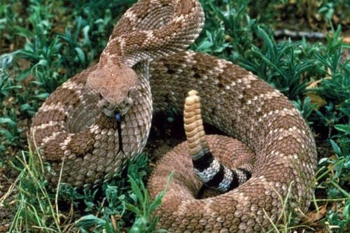 Russell's Pit Viper