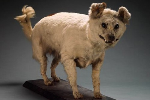 Dogs That Are Extinct Extinct Breeds of Dogs Kuri
