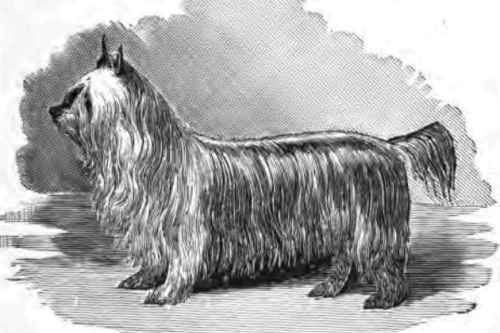 Paisley Terrier-Extinct Breeds of Dogs