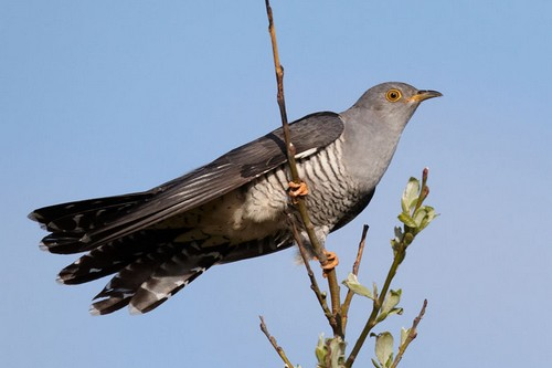 Birds With Strange Defences Common cuckoo