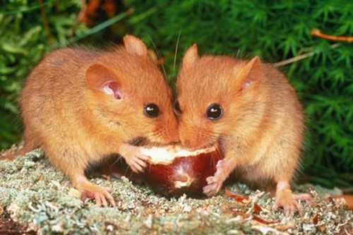mammals with unusual defences Dormouse
