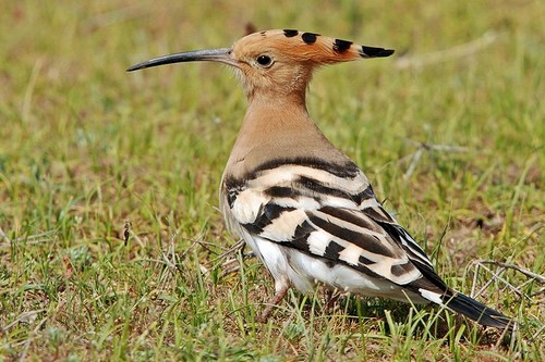 Hoopoe Birds With Strange Defences