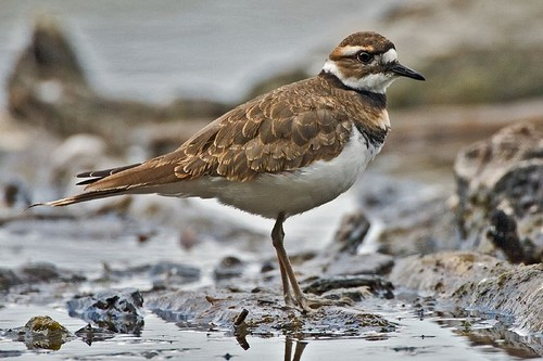 Birds With Strange Defences Killdeer