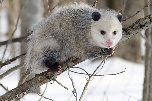mammals with unusual defences Opossum