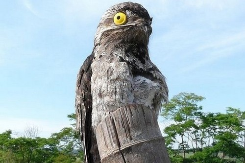 Birds With Strange Defences Potoo Bird
