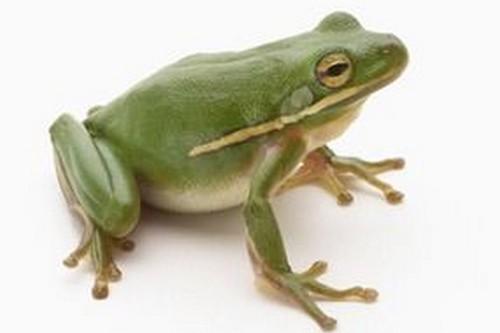 frogs Animal Astronauts