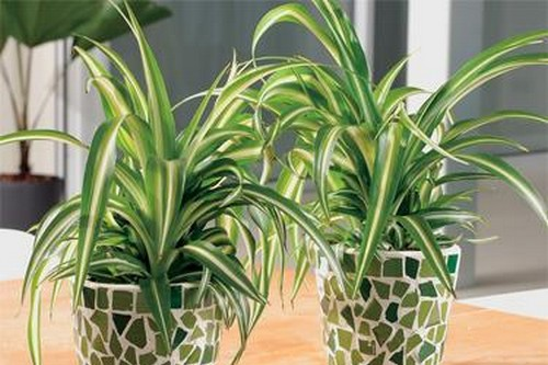usual sight spider plant is easy to grow and maintain one of the best