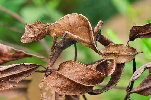 Fantastic Leaf-Tailed Gecko