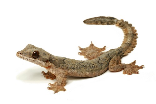 Flying Gecko