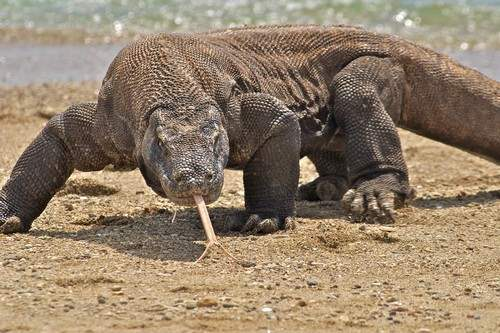 Komodo Dragon weirdest lizards