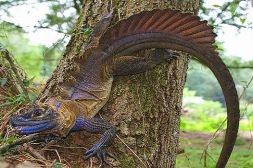 Philippine Sailfin Dragon weirdest lizards