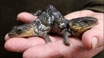 10 Coolest, Weirdest Lizards