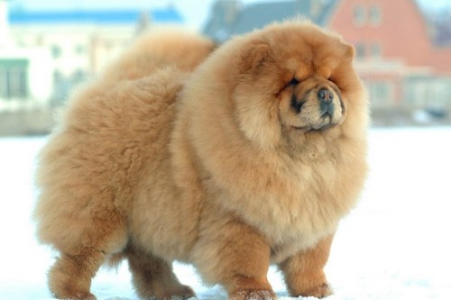 Beautiful and cute Chow Chow