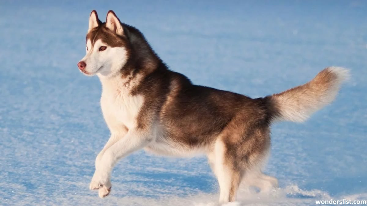 Dangerous Dog Breeds Siberian Husky