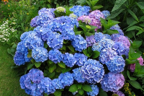 Most Expensive Flowers Hydrangea