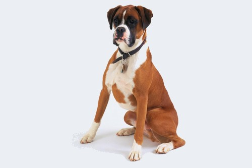 Boxer Top 10 Dog Breeds