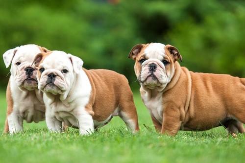 English Bulldog Top 10 Dog Breeds