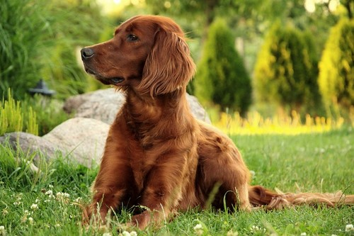 Irish Setter Top 10 Dog Breeds