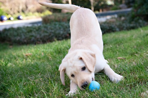 Top 10 Dog Breeds Labrador Retriever